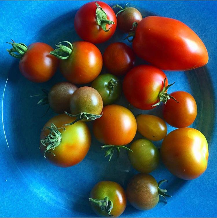 Tomater från Riksby koloniförening. Foto: Anne Joki Jakobsson